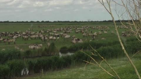 Awesome time lapse of gigantic herd of wild konik horses