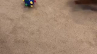 Mini Poodle Playing With Her Bouncing Ball