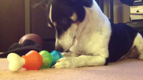 Scraps the Dogs - Working on a Bone Toy