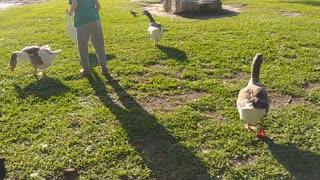 Children feeding geese