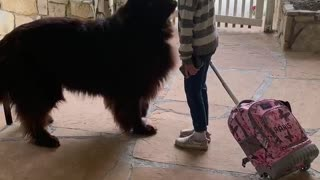 Little girl and her giant puppy share moment before school