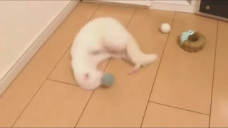 That's How ferret Plays Small Balls At Home
