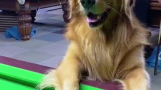 Puppy playing billiards