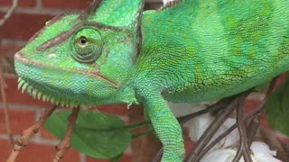 Chameleon cuteness