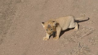 (REALLY CUTE AUDIO) Baby lion cubs chatting with Mom