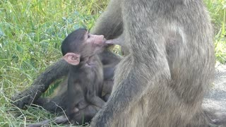 Cuteness overload. Baby baboon suckling