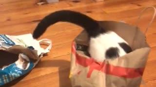 Goofy Cat Jumps Into Empty Paper Bag