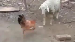 sheep vs hen