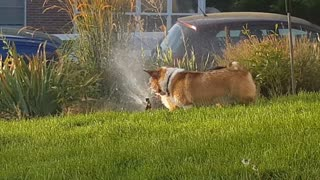 Dogs Love to Hate Sprinklers