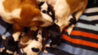Mama Bassett with 8 puppies