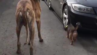 Great Dane & Little Dog