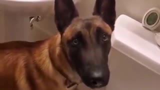 Dressage level: Expert, German shepherd knows how to use a restroom