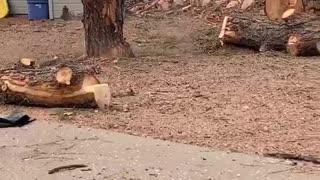 Falling Tree Slab Sticks the Landing