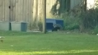 Black Cat Hanging Out with Raccoons