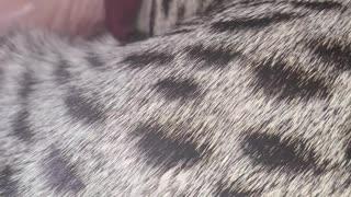 Sleeping F3 Savannah Kitten