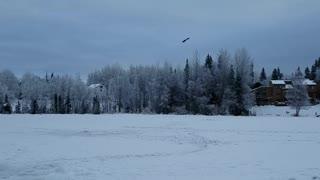 Bald Eagle watching us ice fishing