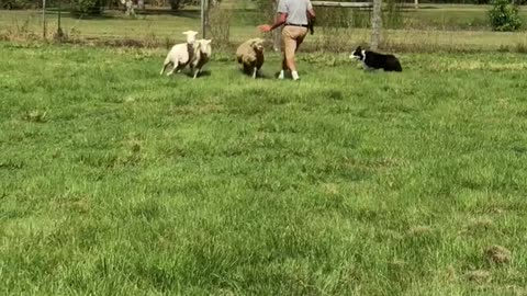 Mini Aussie practices herding sheep for the first time
