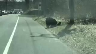 Mama Bear having problems with her Cubs