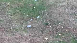 Black Bear Takes Off with Trash