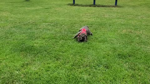 French bulldog rolling on grass staying hydrated