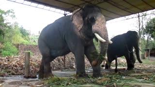 Kollam Tourism - Puthenkulam elephant village - Elephant ride, Elephant bathing, Elephant feeding