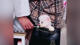 Cute Little Dog In A Bag Licks Toffee Funny Moment