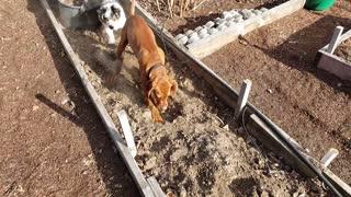 Puppy Helps in the Garden