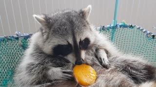 Raccoon uses paws to chow down on tasty mango