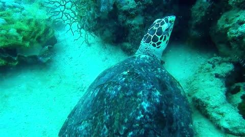 Hawksbill sea turtle in the Sea 2 - man & camera