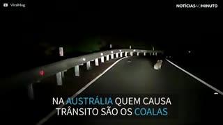 Coala para o trânsito em estrada na Austrália
