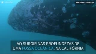 Baleia gigante surpreende mergulhadores em fossa oceânica