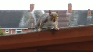 Squirrel Ready To Attack!