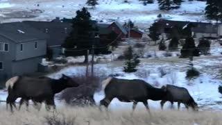 Elk Heard Hurries Across the Road
