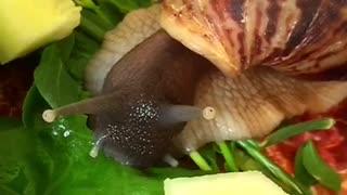African snails