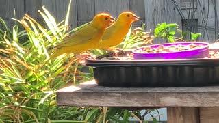 # Back Yard Birds Hawai'i