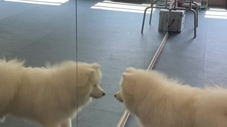 Samoyed Seeing Himself For the First Time in Mirror