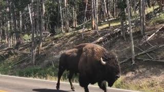 Bison Traffic Jam in Yellowstone