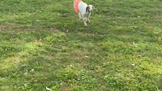 Playful Taffi