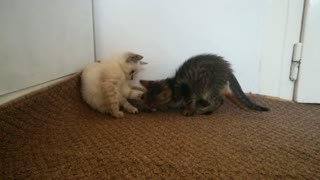 Little kittens run after each other.