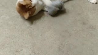 Butterscotch is playing with catnip sock