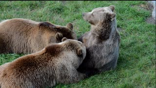 european brown bear beautiful animals