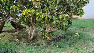 Chickens Under a Bush