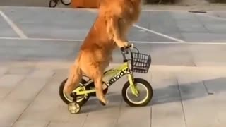 So funny 😀 Dog Riding bicycle