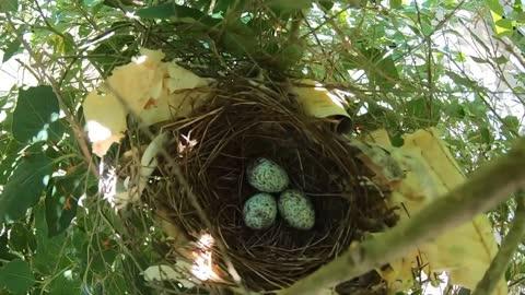 Cardinal nest and eggs