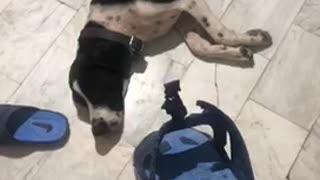 Black white dog pretends to sleep blue sandal
