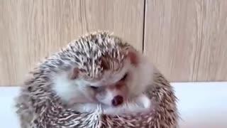 hedgehog Beautiful animal
