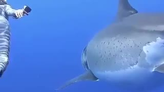 Swimming with giant shark