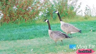 🦢 Canada Goose Lovely Walking in the Park