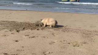 Simon the French Bulldog Digs the Beach