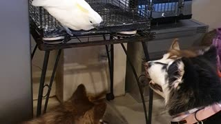 Cockatoo Wants to Be Part of the Dog Pack